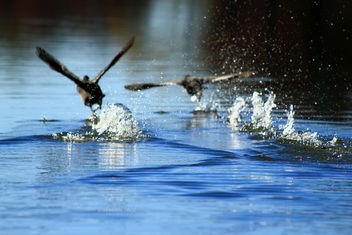 Ducks Walking on the Water - бесплатный image #284615
