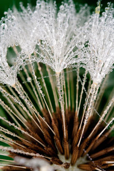 Jeweled Dandelion - Free image #284625
