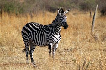 Plains Zebra: Equus quagga - Free image #284685