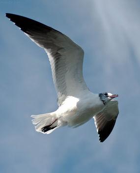 Thayer's Gull - image gratuit #284895