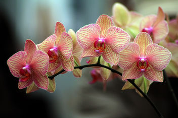 Orchid Splendor - Free image #284935