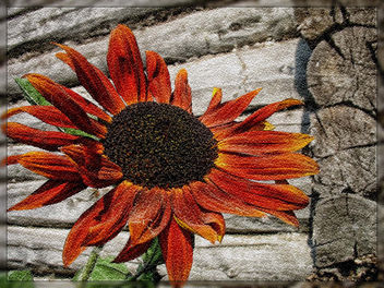 sunflower - image #285175 gratis