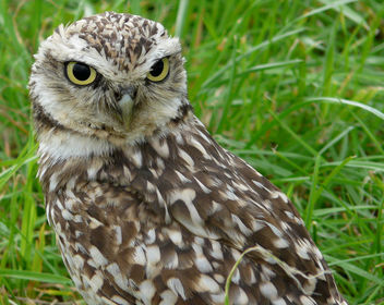 Athene cunicularia - burrowing owl - image gratuit #285305