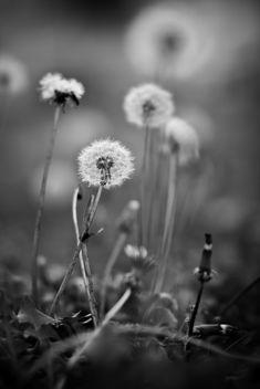 Dandelion - image gratuit #285955