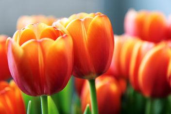 Tulips - image gratuit(e) #286125