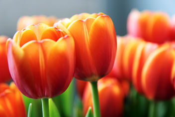 Tulips - image #286125 gratis