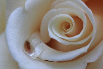 Drop on rose - Kostenloses image #286485