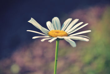 249/365 Daisy - image gratuit #286495