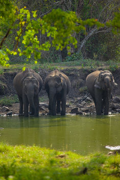 Thirsty Giants | Kabini - Free image #286615