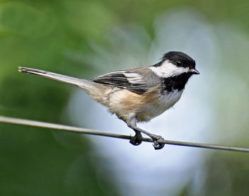 Bird on a Wire - image #286655 gratis