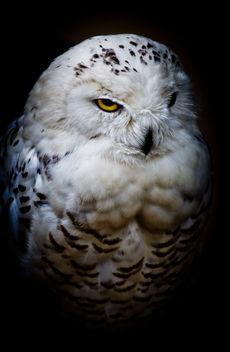 White Owl - image gratuit #286735