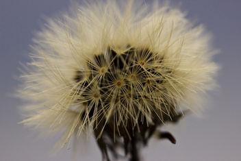 Pollen (dandelion) - image gratuit #286815