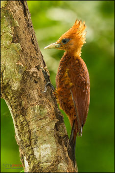 Chestnut-coloured Woodpecker - бесплатный image #287115