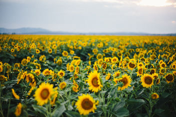 Sunflowers - image gratuit #287235