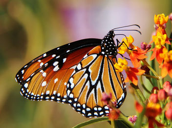 Butterfly in Arizona - image gratuit #287415