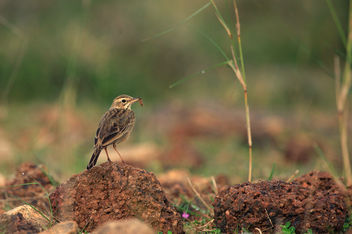 Wood Lark with prey - Free image #287425