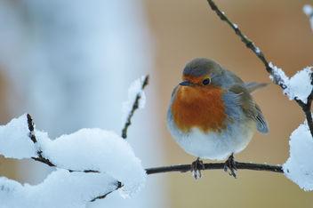 Robin - Kostenloses image #287495