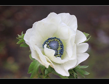 White blue flower - Free image #287565