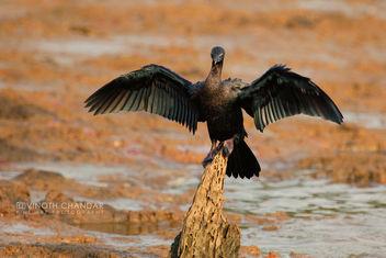 Cormorant Kid | Kabini - Free image #288005