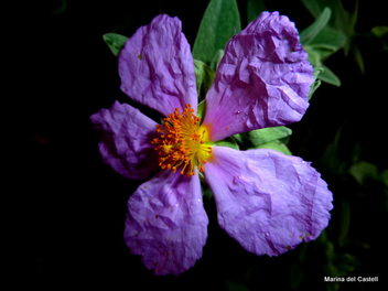 Wildflower (Pink Rock-Rose) - image #288105 gratis