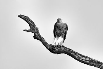 What a look! - Fish Eagle - image #288335 gratis