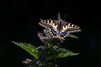 Swallowtail by Anthony Court - image #288405 gratis
