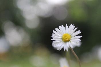Daisy - image gratuit #288735