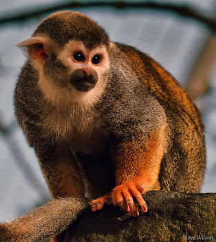 Squirrel Monkey - image gratuit #288955