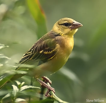 Village Weaver Bird - Free image #288975
