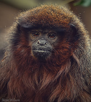 Red Titi Monkey (EXPLORE) - image gratuit #289185