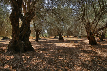 Olive Grove In Amari Valley - Kostenloses image #289815
