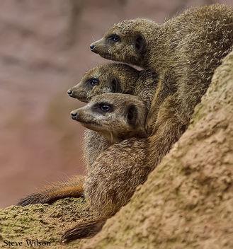 Meerkats United - Free image #289925