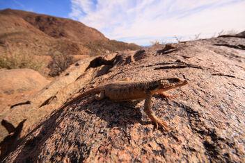 Karoo Girdled Lizard - image #290915 gratis