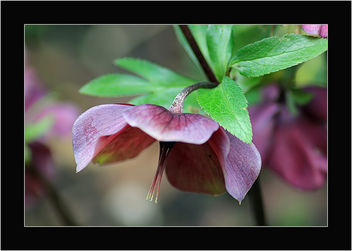 A purple Helleborus - image #290975 gratis