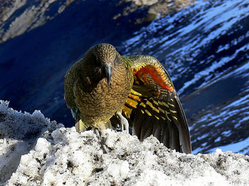Kea wing colours. - Free image #291505