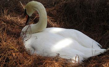 Nesting Swan - Free image #291525