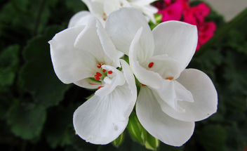 White flowers - Free image #291585