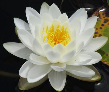Water Lilly - Free image #291605