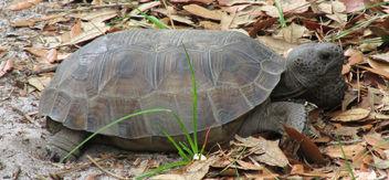 Gopher Tortoise - image #291665 gratis