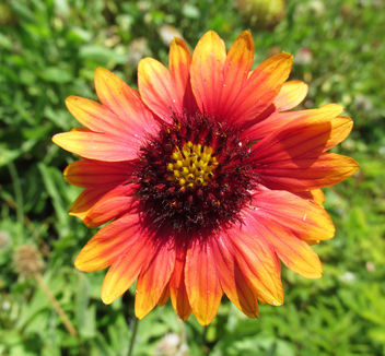 Indian Blanket Flower (front view) - Free image #291795
