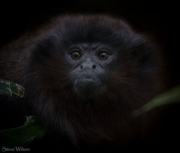 Red Titi Monkey Portrait - image gratuit #291905