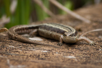 Common Lizard - Free image #292205