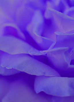 Free Purple Rose Love Me Tender, Love Me True Creative Commons - Free image #292255