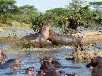 Hippo War in the Serengeti - image gratuit(e) #292375