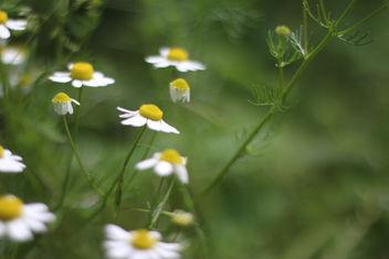 Little Daisies - image #292425 gratis