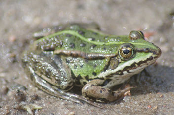 Frog - Kostenloses image #292455