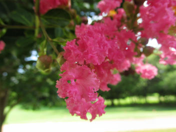 Pink flower Tree - Free image #292615