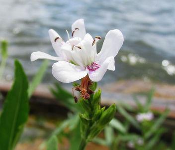 Lake Flower - image #292635 gratis