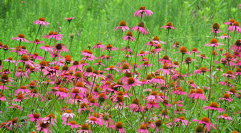 Purple Coneflowers - image #292705 gratis