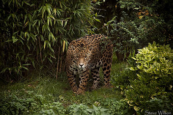 Jaguar - Free image #293205